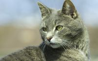 Cat with gray fur wallpaper 2560x1600 jpg