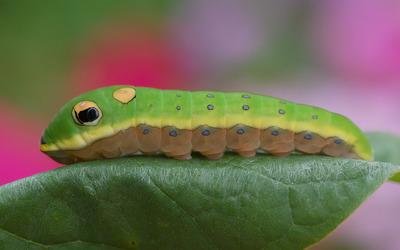 Caterpillar [3] wallpaper