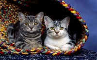 Cats in a basket wallpaper 1920x1200 jpg