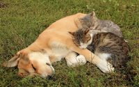 Cats resting on a sleeping dog wallpaper 1920x1200 jpg
