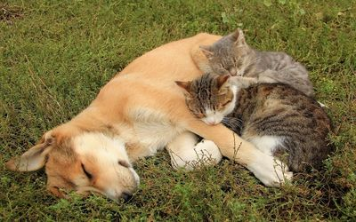 Cats resting on a sleeping dog wallpaper