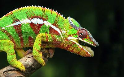 Chameleon [3] wallpaper