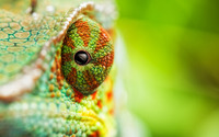 Chameleon [4] wallpaper 1920x1200 jpg