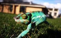 Chameleon [8] wallpaper 2560x1440 jpg
