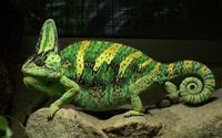 Chameleon [9] wallpaper 1920x1200 jpg