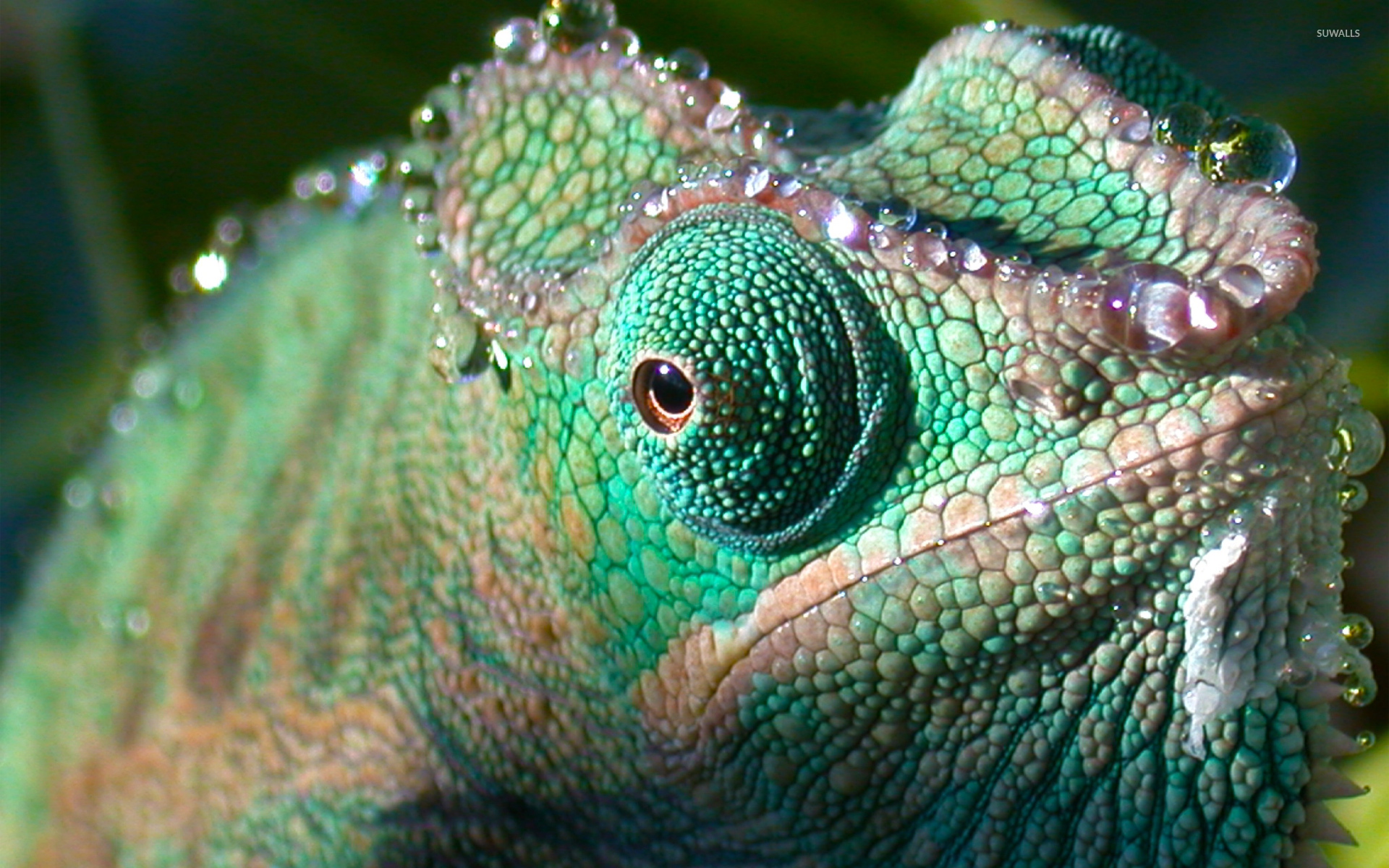 chameleon wallpaper 1920x1200 - photo #5