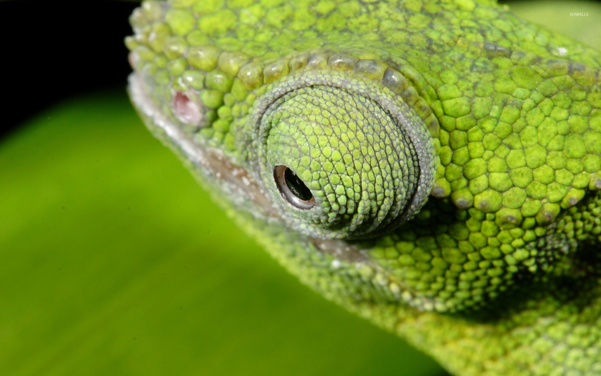 chameleon wallpaper 1920x1200 - photo #30