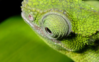 Chameleon eye wallpaper 2560x1600 jpg