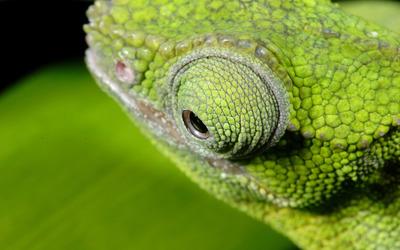 Chameleon eye wallpaper