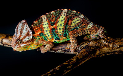 Chameleon on a tree branch wallpaper