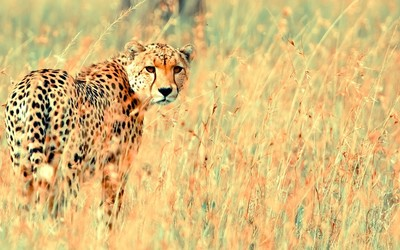 Cheetah [3] wallpaper