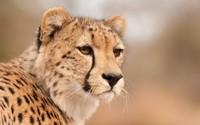 Cheetah [4] wallpaper 1920x1080 jpg