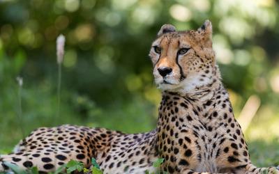 Cheetah [5] wallpaper