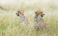 Cheetah [7] wallpaper 1920x1200 jpg