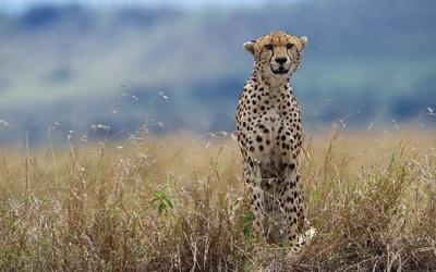 Cheetah [6] wallpaper