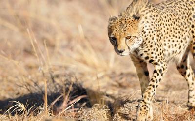 Cheetah [12] wallpaper
