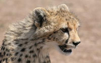 Cheetah [13] wallpaper