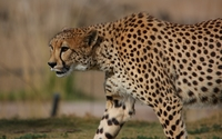 Cheetah [10] wallpaper 2560x1600 jpg