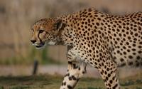 Cheetah [10] wallpaper 2560x1600 jpg