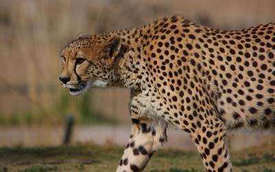 Cheetah [10] wallpaper