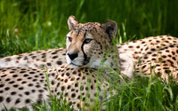 Cheetah [2] wallpaper 1920x1080 jpg