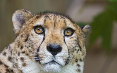Cheetah close-up [2] wallpaper