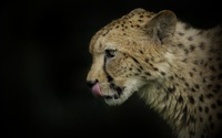 Cheetah close-up wallpaper 1920x1200 jpg