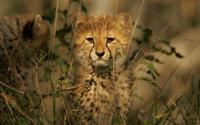 Cheetah Cub wallpaper 1920x1080 jpg