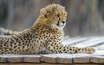 Cheetah cub [2] wallpaper