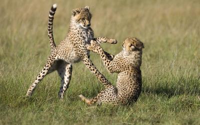 Cheetah cubs wallpaper
