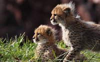 Cheetah cubs [2] wallpaper 1920x1080 jpg
