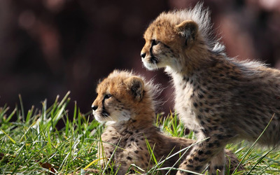 Cheetah cubs [2] wallpaper