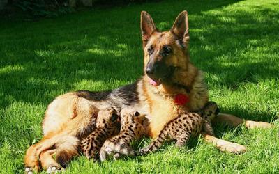 Cheetah cubs feeding from german shephard wallpaper