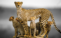 Cheetah family wallpaper 1920x1200 jpg