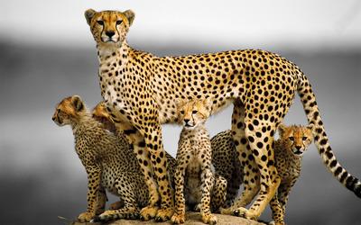 Cheetah family wallpaper