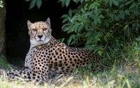 Cheetah hiding under a tree wallpaper 2560x1600 jpg