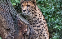 Cheetah in a tree wallpaper 1920x1200 jpg