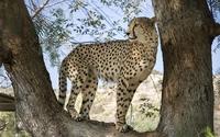 Cheetah in a tree [2] wallpaper 1920x1200 jpg