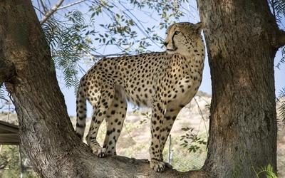 Cheetah in a tree [2] wallpaper