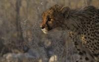 Cheetah in the evening sun wallpaper 1920x1200 jpg