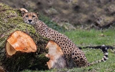 Cheetah leaning on a tree log wallpaper