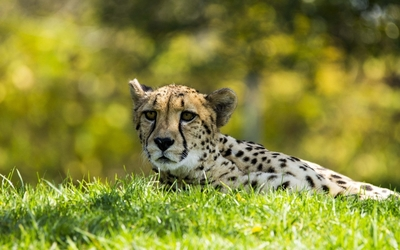 Cheetah lying in the grass wallpaper