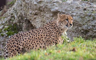 Cheetah near a rock wallpaper