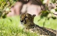 Cheetah resting wallpaper 1920x1200 jpg