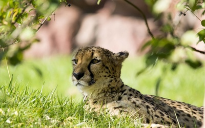 Cheetah resting wallpaper