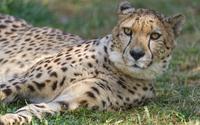 Cheetah resting in the grass wallpaper 2560x1600 jpg
