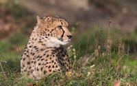 Cheetah resting on the grass wallpaper 1920x1080 jpg