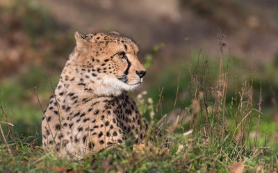 Cheetah resting on the grass wallpaper
