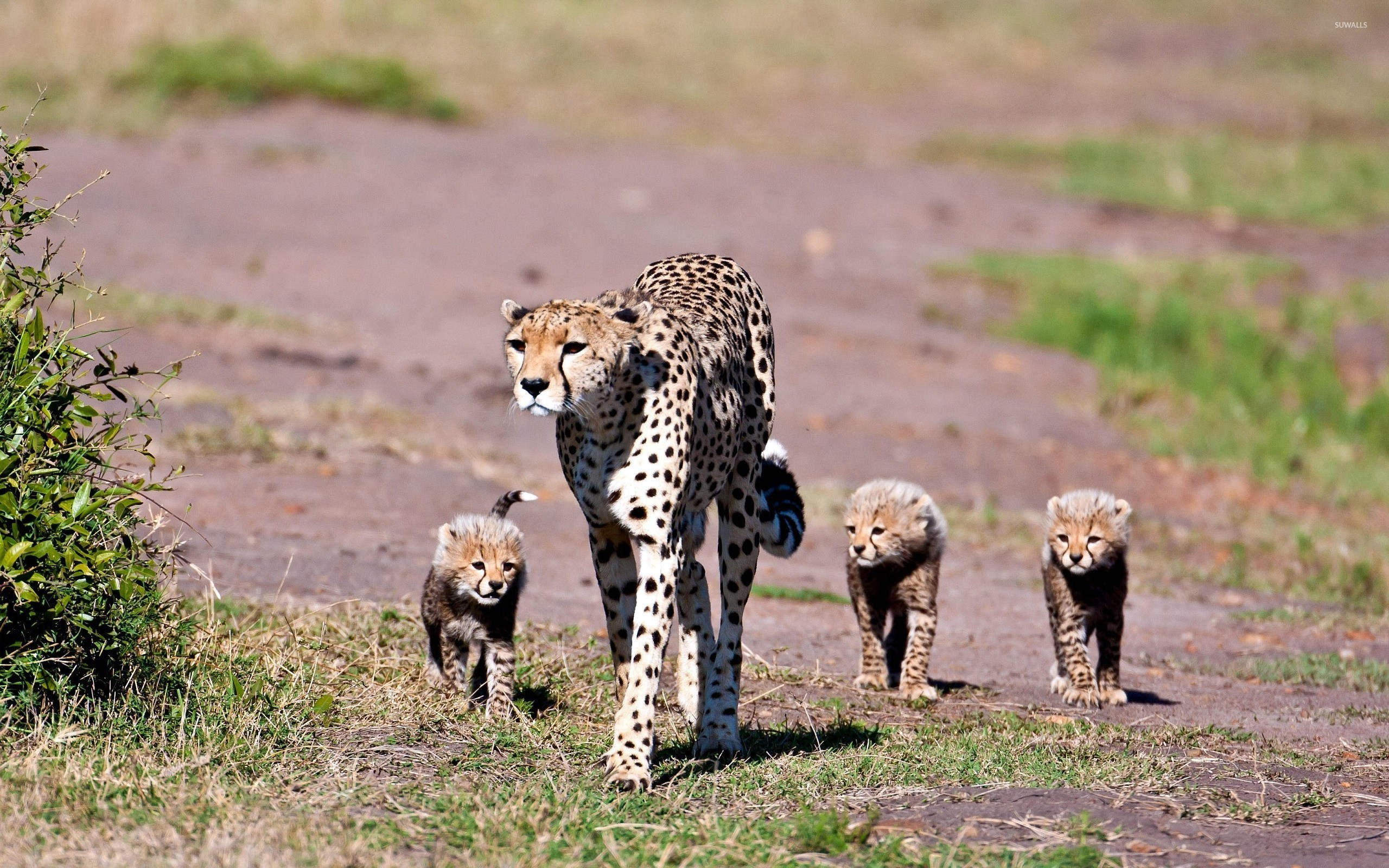 Cheetah with cubs wallpaper