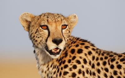 Cheetah with orange eyes wallpaper